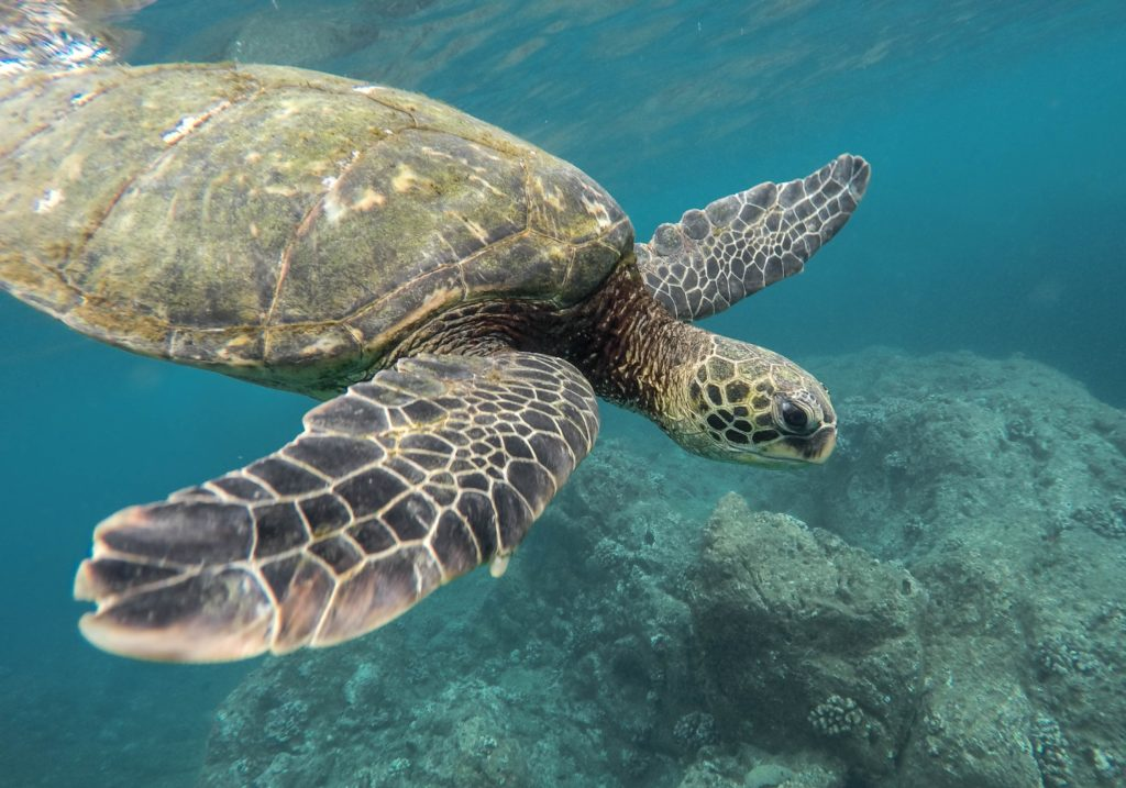 A beautiful closeup shot of a large turtle swimming underwater in the ocean