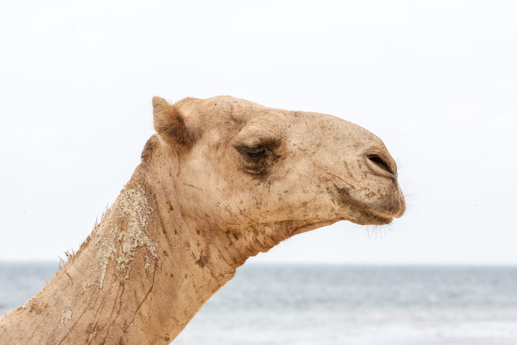 head of a camel on a background of the ocean