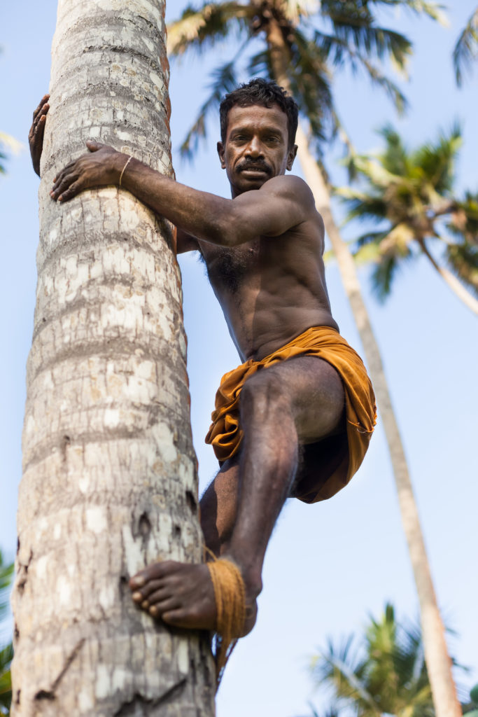 Bentota, Sri Lanka - 6 March 2014. black male, Sri Lankan on coconut tree-gathering coconuts with rope close up. Looking for a client.